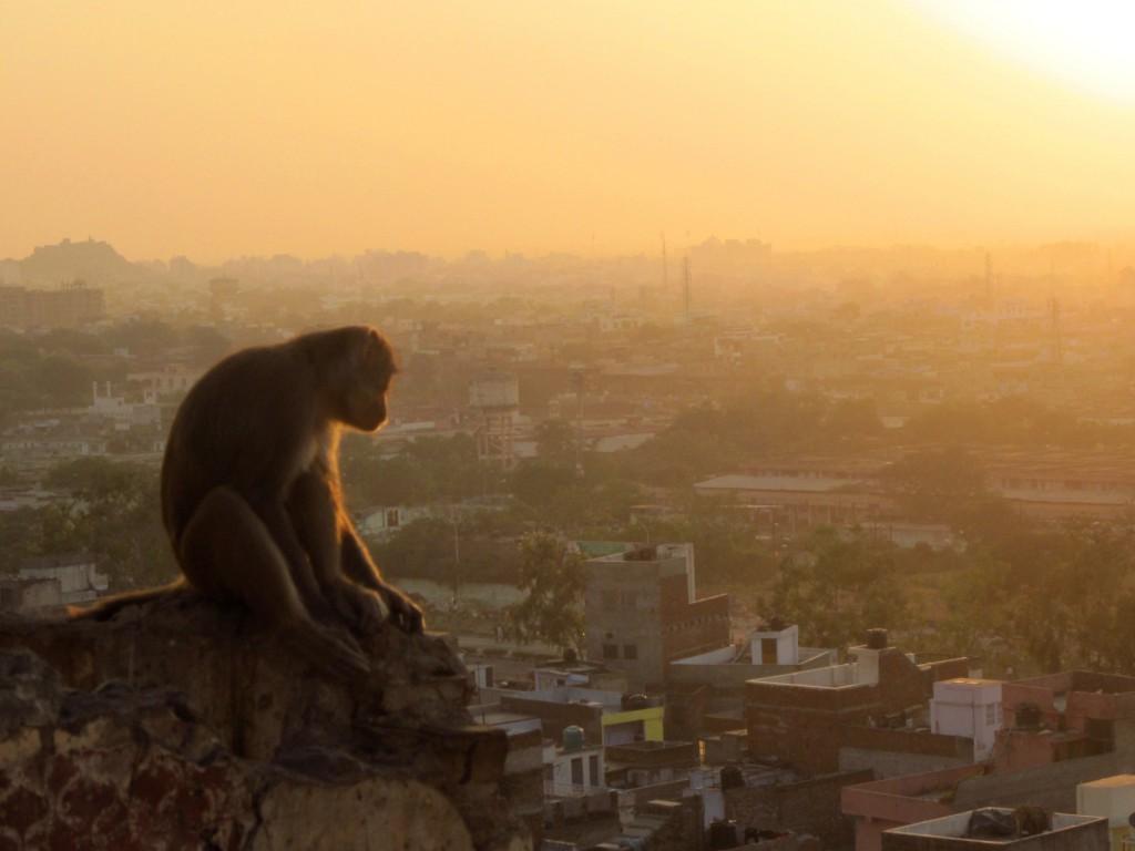Affe über Jaipur © Fernsuchtblog