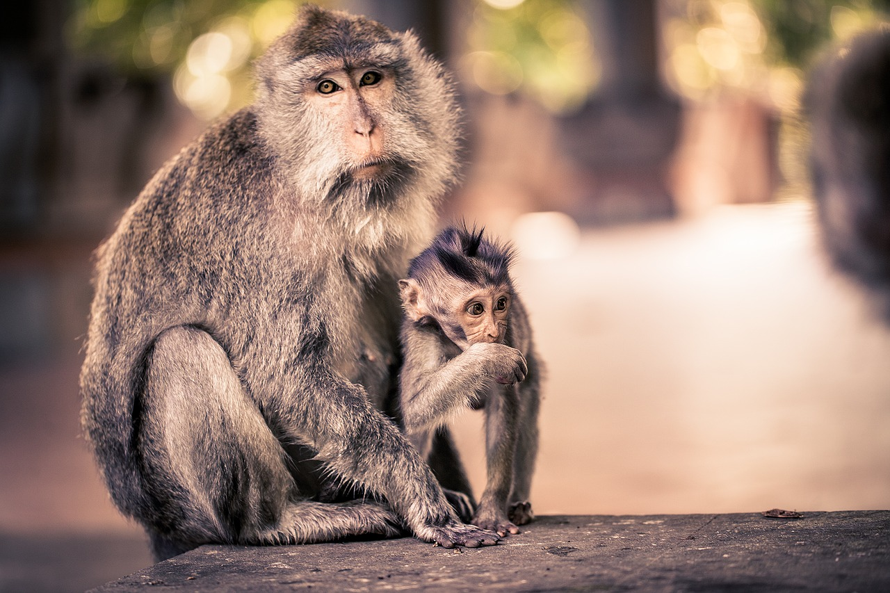 Bali, Attraktionen, Affen, Makaken, Urlaub, wandern