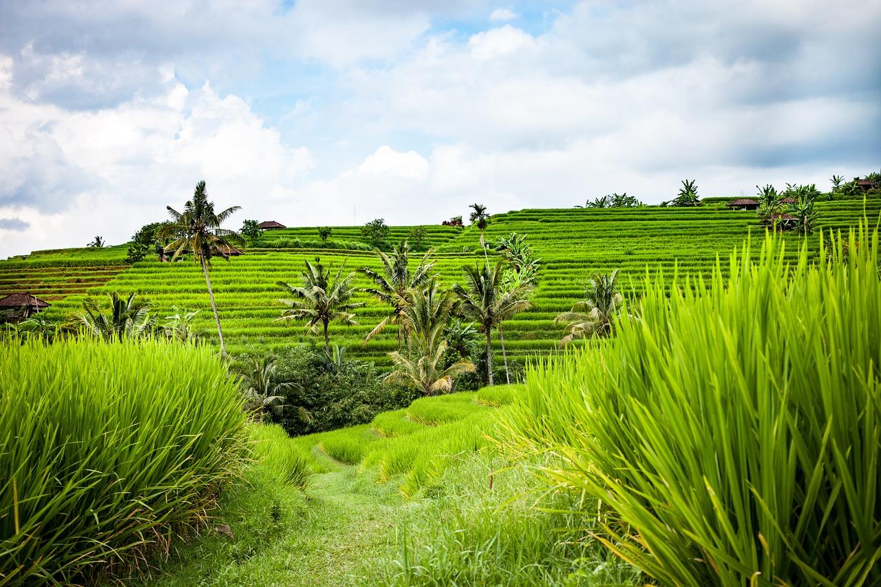 Bali-Reise, Bali-Urlaub, Reis, Reisterrassen, Bali wandern