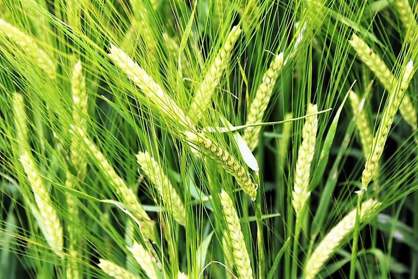 Noch grüne Gerste © Fotolia.com