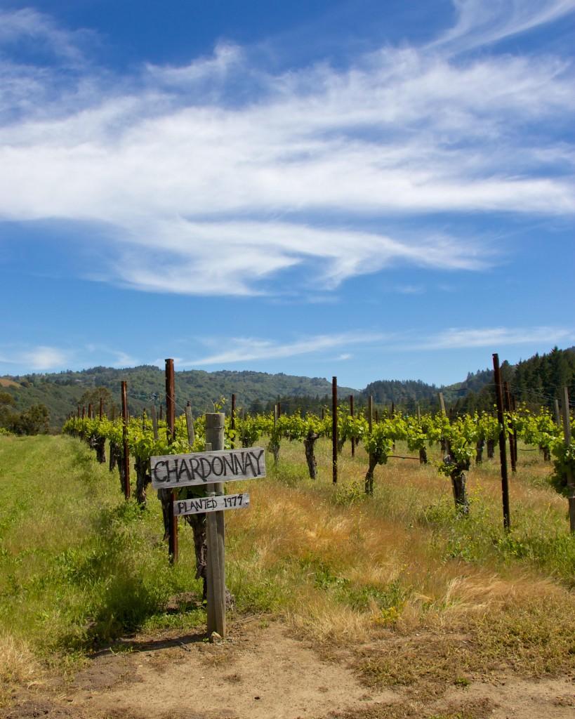 Weinreise Burgund Frankreich Rebfeld