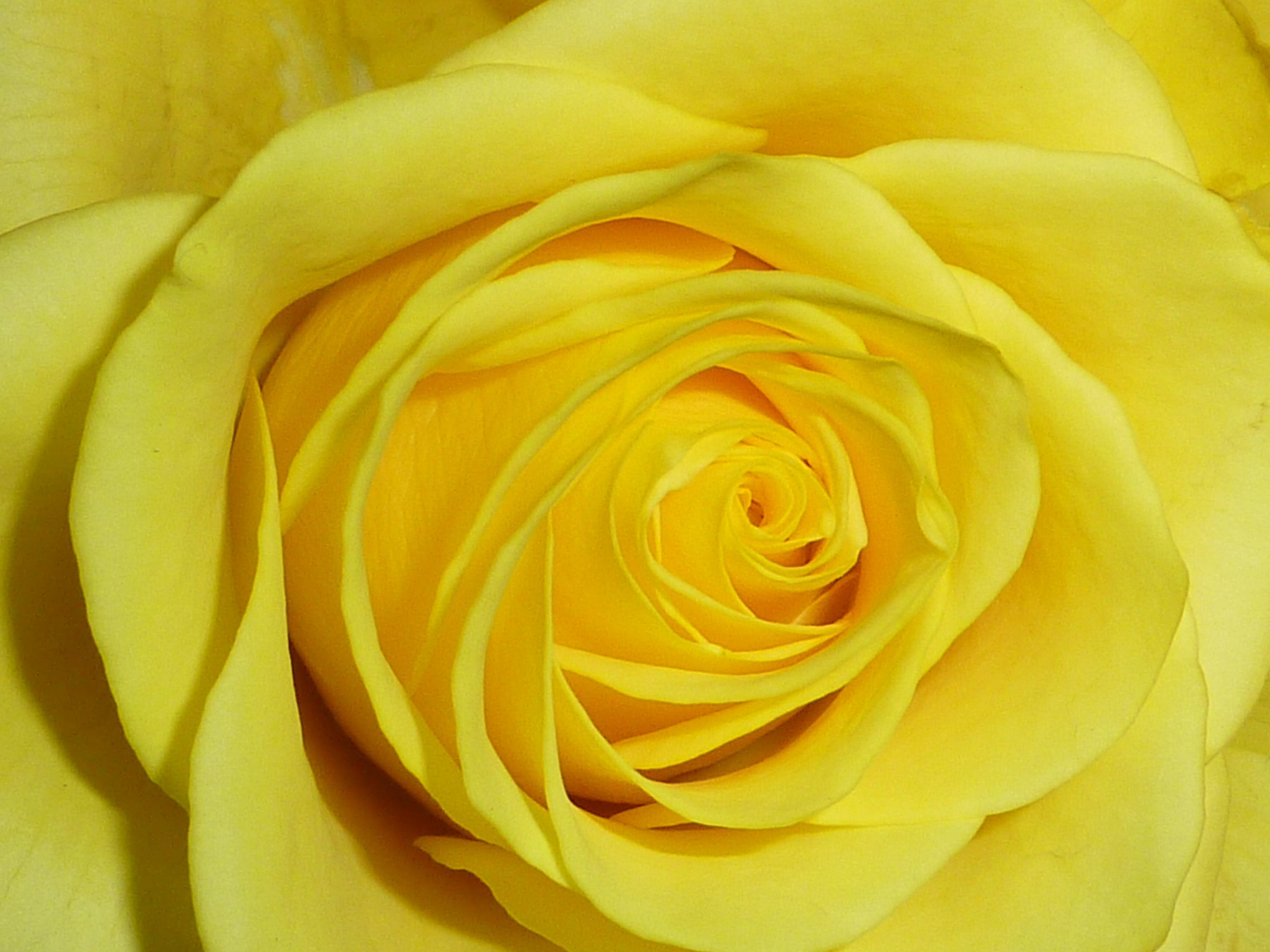 Die gelbe Rose steht für Untreue, Eifersucht und schwindende Liebe © morguefile