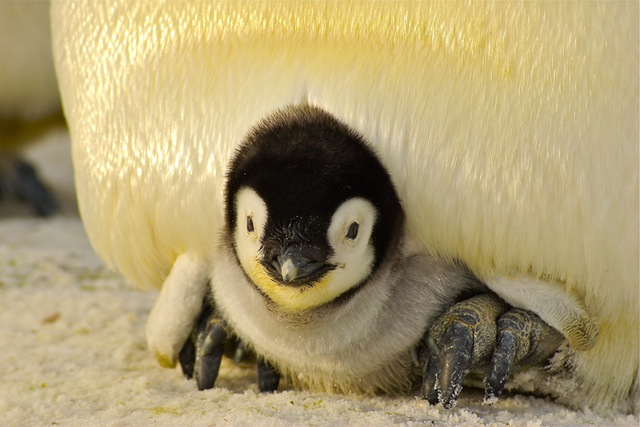 Pinguin-Baby © pixabay.com/pexels.com